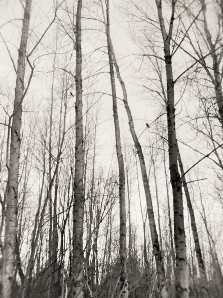 trees with a crow (2)