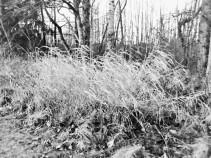 windblown grasses (3)