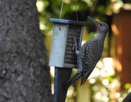 flicker on feeder